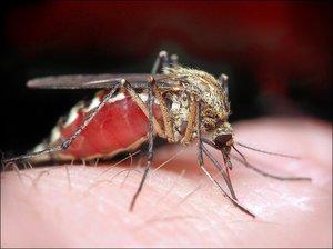 Как можно заразиться дирофиляриозом