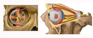 Анатомия глаз при диплопии