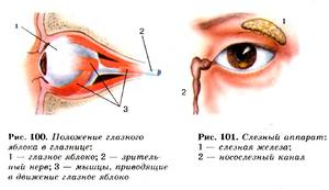 Как устроен орган зрения